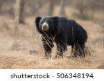 big beautiful sloth bear male... | Shutterstock . vector #506348194