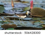 pheasant tailed jacana or... | Shutterstock . vector #506428300