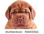 Dogue De Bordeaux Puppy...