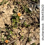 Small photo of Pimpernel Anagallis arvensis an insecticidal, repellent to some insects, possibly by virtue of its pungent essential oil with orange flowers a common weed of pastures and crops is toxic.