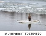 white tailed eagle in winter.... | Shutterstock . vector #506504590