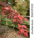 Small photo of Autumnal Red Leaves of Acer Palmatum (Japanese Maple) in a Garden in Devon, England, UK.