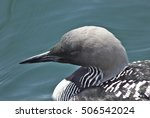 Small photo of Pacific Loon(Gavia pacifica)