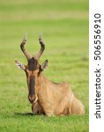 Small photo of Red Hartebeest, Alcelaphus buselaphus, antelope, adult, Addo Elephant PArk, South Africa