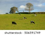 friesian cows grazing...