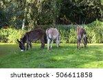 Three Grazing Donkeys