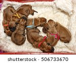 dogue de bordeaux   one day old ... | Shutterstock . vector #506733670