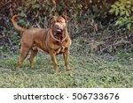 Dog Dogue De Bordeaux   Perfec...