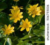 Striking Yellow Blossoms...