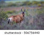 A Wild Red Hartebeest ...