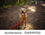 Stock photo dog outdoors hiking in woods mixed breed labrador rescue puppy on a sunny day in the park 506949550