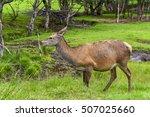 herd of mother elk with spotted ...   Shutterstock . vector #507025660