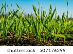 Young Sprouts Of Wheat  Closeu...