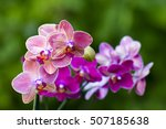 Beautiful Pink Orchid   ...