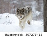 Timber Wolf Walking In The...
