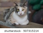 Relaxing Calico Cat On Wood...