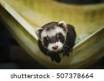 Cute Young Ferret Or Weasel In...