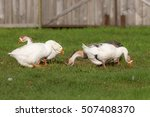 domestic geese on the farm... | Shutterstock . vector #507408370