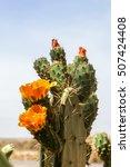 Flowering Wild Cactus In Africa