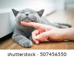 Stock photo happy kitten likes being stroked by woman s hand the british shorthair 507456550