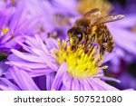 Honey Bee Pollinating Daises