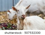 white goat at the village in a... | Shutterstock . vector #507532330