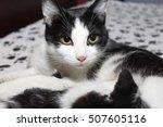 Stock photo black and white cat 507605116