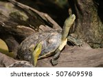 Small photo of Terrapin is used to describe several species of small, edible, hard-shell turtles, typically those found in brackish waters, and is an Algonquian word for turtle.