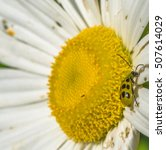 Closeup Of A Large White Daisy...