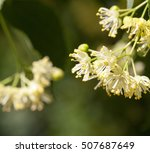 Yellow Flowers Of Linden Trees ...