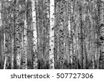 birch forest background  black... | Shutterstock . vector #507727306