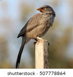 Small photo of jungle babbler bird of india
