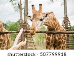 Hungry Giraffe In Safari Is...