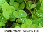 Dew Drops On Clovers.