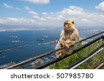 Young Barbary Ape Sitting On A...