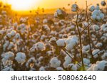 Cotton Field Background Ready...