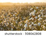 cotton field background ready... | Shutterstock . vector #508062808