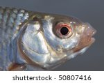Head of life roach fish, close-up shot, macro lens used - stock photo