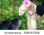ferret and dog. beige ferret... | Shutterstock . vector #508191508