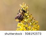 Eastern Carpenter Bee  Xylocop...