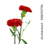 Beautiful Red Carnation Flowers ...