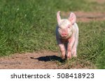 Young Pig In Free Range