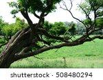 tree acacia | Shutterstock . vector #508480294