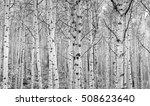 Colorado Aspen Trees Create An...