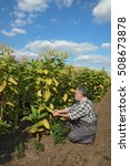 Small photo of Farmer or agronomist examine blossoming tobacco plant in field