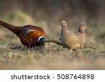 Birds   Common Pheasant ...