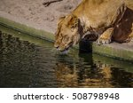 A Drinking Lioness