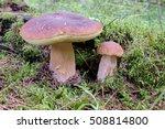 edible bolete mushrooms in... | Shutterstock . vector #508814800