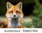Red Fox   Vulpes Vulpes  Close...