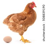 brown hen and agg isolated on... | Shutterstock . vector #508839190